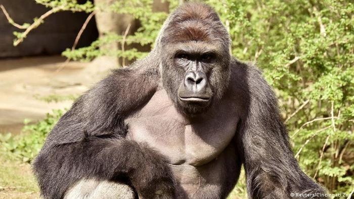 USA Zoo Cincinnati Gorilla wird erschossen