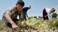 Usbekistan Tashkent Baumwollpflücker jäte Unkraut