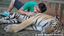 25.07.2014 ***MAE RIM, THAILAND - JULY 25: A Chinese tourist poses for a picture with a tiger on July 25, 2014 at Tiger Kingdom in Mae Rim, Thailand. Thailand's government announced recently that visa fees will be waived for tourists from China and Taiwan between August 1 and October 31 in a bid to boost tourism affected by recent political turmoil. (Photo by Taylor Weidman/Getty Images) copyright: Getty Images/T. Weidman