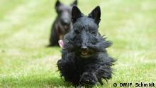21.05.2016 Scottish Terrier Maggie (vorne) und Danilo (hinten) laufen am 21. Mai 2016 auf einem Hundegelände in Witten einem Fellbüschel hinterher. (Foto: Fabian Schmidt) Copyright: DW/F. Schmidt