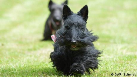 A Scottish terrier running