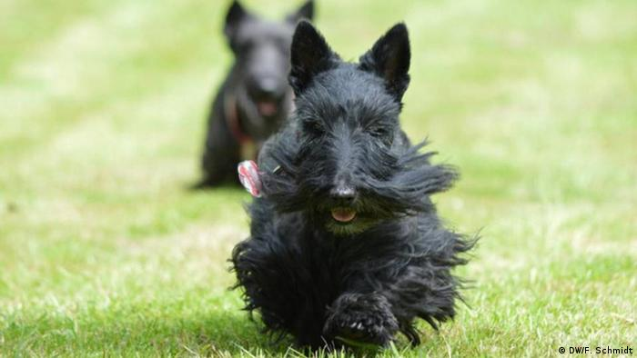 A Scottish terrier running