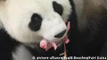 Belgien Panda Mutter Panda Baby Pairi Daiza Zoo