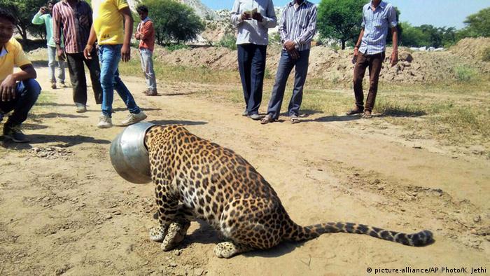 Leoprad bleibt im Wasserbehälter stecken (picture-alliance/AP Photo/K. Jethi)