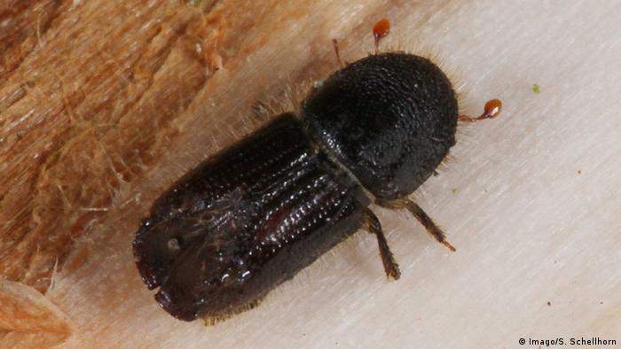 Bark beetle (Imago/S. Schellhorn)