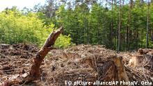 In this Aug, 2006 file photo, dead trees lie on the ground in the Bialowieza National Park, a protected part of the Bialowieza Forest in eastern Poland. A spokesman for Poland's Environment Ministry says Wednesday, May 25, 2016, logging has started in parts of the nation's oldest forest, a development that aims to eliminating dying trees to ensure safety for tourists. (AP Photo/Vanessa Gera, file) (c) picture-alliance/AP Photo/V. Gera