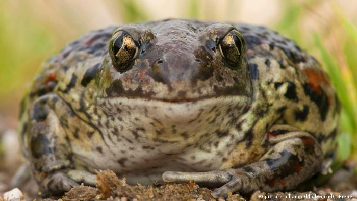 Eine Knoblauchkröte blickt frontal in die Kamera