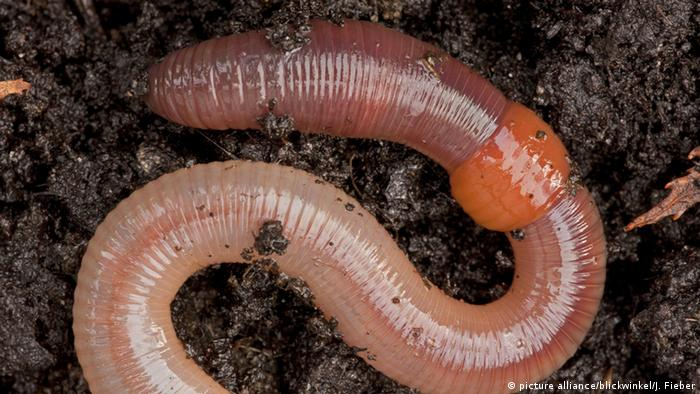 A close-up picture of an earthworm