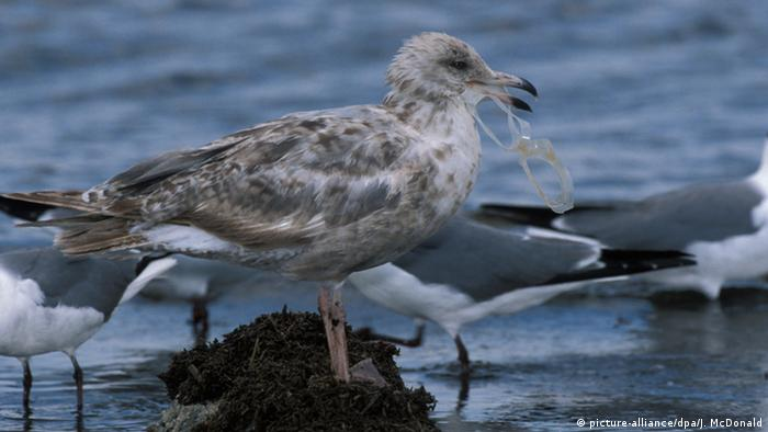 A seagull with a piece of plastic in its beak