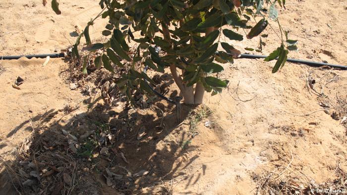 Ägypten Dürre Aufforstung Forstwirtschaft Jojoba Foto: Oliver Ristau