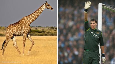 Bildkombi: Fussballspieler Costel Pantilimon und Giraffe (Fotos:dpa/imago)
