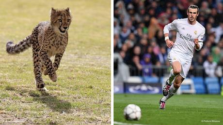Bildkombi Fussballspieler Gareth Bale und Gepard (Fotos: dpa)