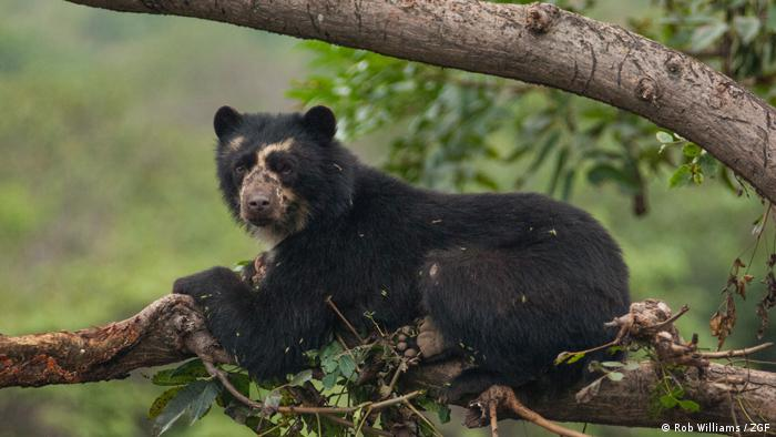 Andean bear in a tree (Rob Williams / ZGF)