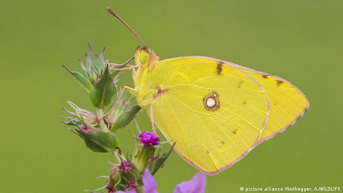 Colias hyale, the pale clouded yellow (picture alliance /Nothegger, A./WILDLIFE)