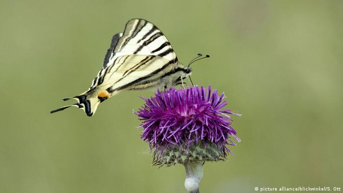 scarce swallowtail (Iphiclides podalirius) (picture alliance/blickwinkel/S. Ott)