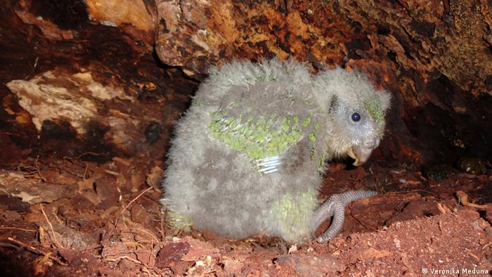 A kakapo chick waits patiently in a nest underneath a log, while its mother is out foraging for Food. © Veronika Meduna