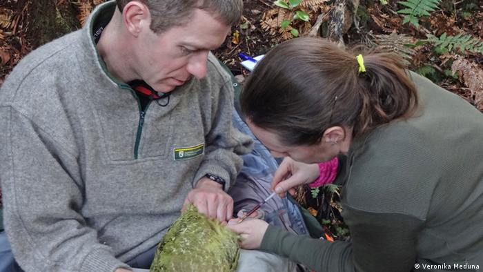 Kakapo scientist Andrew Digby holds Huhana, a 7-year-old female kakapo, tightly around her neck and feet, while Deidre Vercoe takes a blood sample. © Veronika Meduna