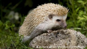 African hedgehog (picture-alliance/blickwinkel/McPHOTO)