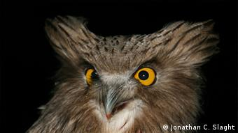 Blakiston's fish owls