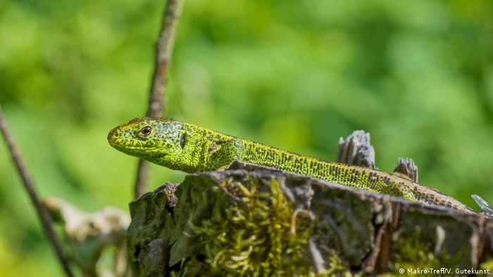 Макрофотография ящерицы
