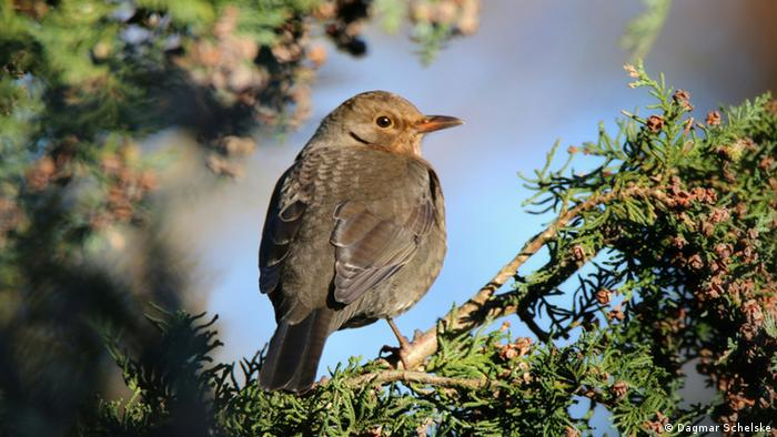 A thrush in a tree