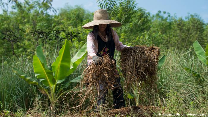 A woman in Thailand covers a rice paddy with hay