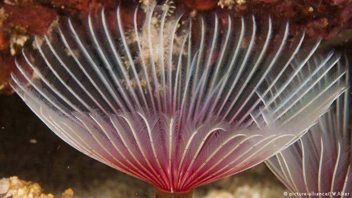 Спиральный червь