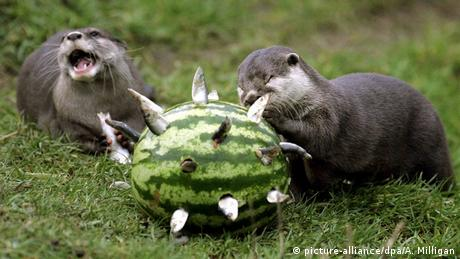 Stirlingshire Zoo Otter Futter Spielen Animal Enrichment (picture-alliance/dpa/A. Milligan)