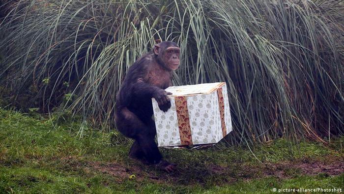 Whipsnade Zoo Schimpansen Spielen Animal Enrichment (picture-alliance/Photoshot)