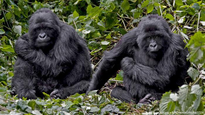 Two mountain gorillas