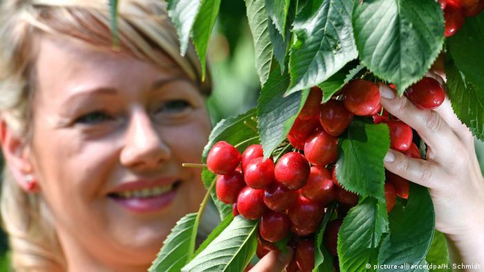 Вишня и черешня - секреты богатого урожая
