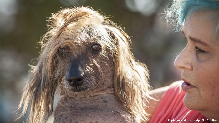 chinese crested the four time participant s  arre hair do is 100