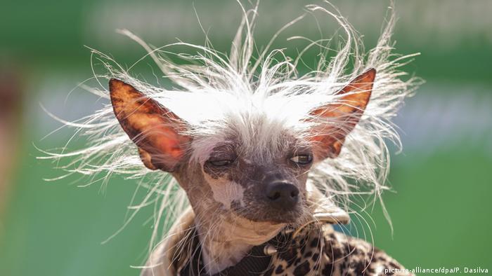 Conoce al ganador del certamen del perro más feo del mundo