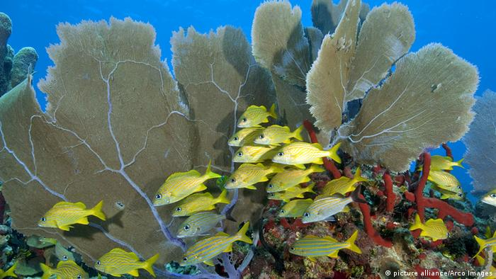 Photo: Coral reef in the Caribbean (Source: picture alliance/Arco Images)