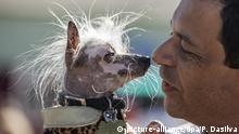Hundeschau The World's Ugliest Dog in Petaluma Kalifornien