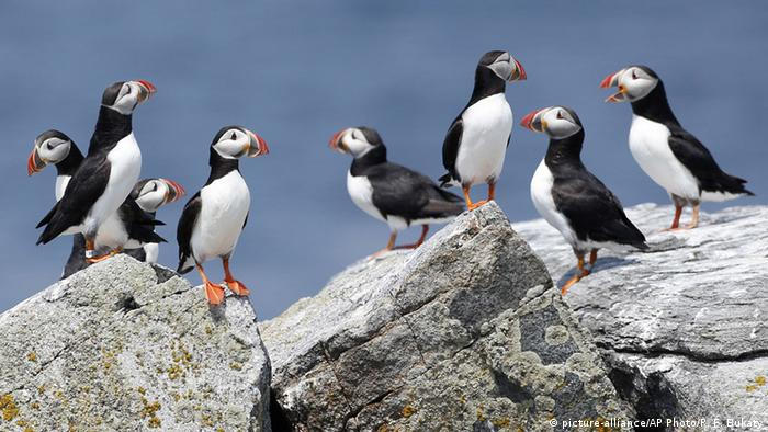 Atlantic puffins congregate near their burrows on Eastern Egg Rock, a small island off the coast of Maine (picture-alliance/AP Photo/R. F. Bukaty)