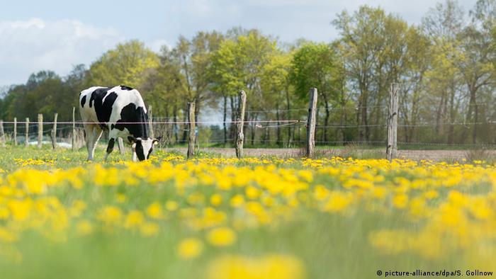 Deutschland Agrarlandschaft Niedersachsen - Kuh auf der Weide