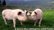 Deutschland Agrarlandschaft Schweine auf der Wiese