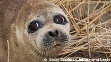 Caspian seal (Simon Goodman/University of Leeds)