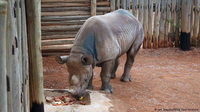 Photo: A black rhino eating carrots and bread. Copyright: Jan Stejskal/ZOO Dvur Kralove
