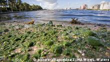 02.07.2016 Algae coats the shoreline of the Inracoastal Waterway along the Lake Trail near the Flagler Museum in Palm Beach, Forida (USA) on July 1, 2016. The Florida Governor declared a state of emergency because of the toxic algae bloom that originated in Lake Okeechobee and spread to the beaches. Photo: Lannis Waters/The Palm Beach Post via ZUMA Wire/dpa (zu dpa Algenbrühe an Stränden in Florida - Notstand ausgerufen vom 02.07.2016) +++(c) dpa - Bildfunk+++ | (c) picture-alliance/dpa/ZUMA Wire/L. Waters