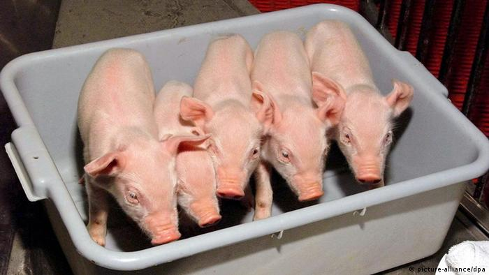 cloned piglets 