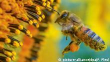 05.07.2016+++ dpatopbilder - Voll bepackt mit Pollen und Blütenstaub fliegt eine Biene am 05.07.2016 zu einer blühenden Sonnenblume in einem Feld nahe Frankfurt (Oder) (Brandenburg). Im deutschlandweiten Vergleich ist Brandenburg vor allem beim Anbau von Körnersonnenblumen und beim Roggen führend. | Verwendung weltweit BdT Bilder des Tages BdW Global Ideas Bild der Woche KW 27/2016 +++ (C) picture-alliance/dpa/P. Pleul
