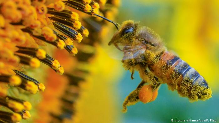 A bee collects pollen (picture-alliance/dpa/P. Pleul)