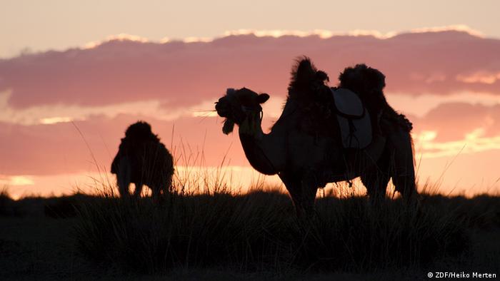 Camelos contra o por do sol