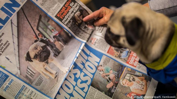 Pug gazes at a newspaper article showing a pug , (picture-alliance/dpa/S. Kembowski)