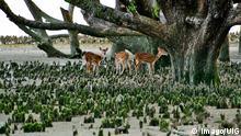 Bangladesch Sundarbans Mangrovenwald Khulna Rehe