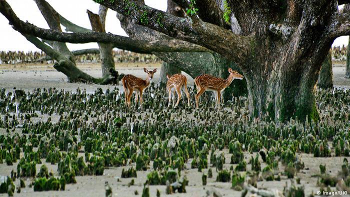 Bangladesch Sundarbans Mangrovenwald Khulna Rehe (Imago/UIG)