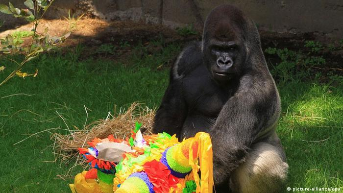 Gorilla Bantu playing (Photo: picture-alliance/dpa).