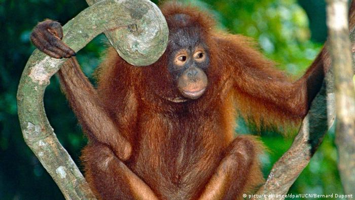 Sorge vor Aussterben von Borneo-Orang-Utans